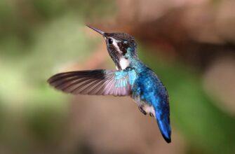 kolibri-pchelka
