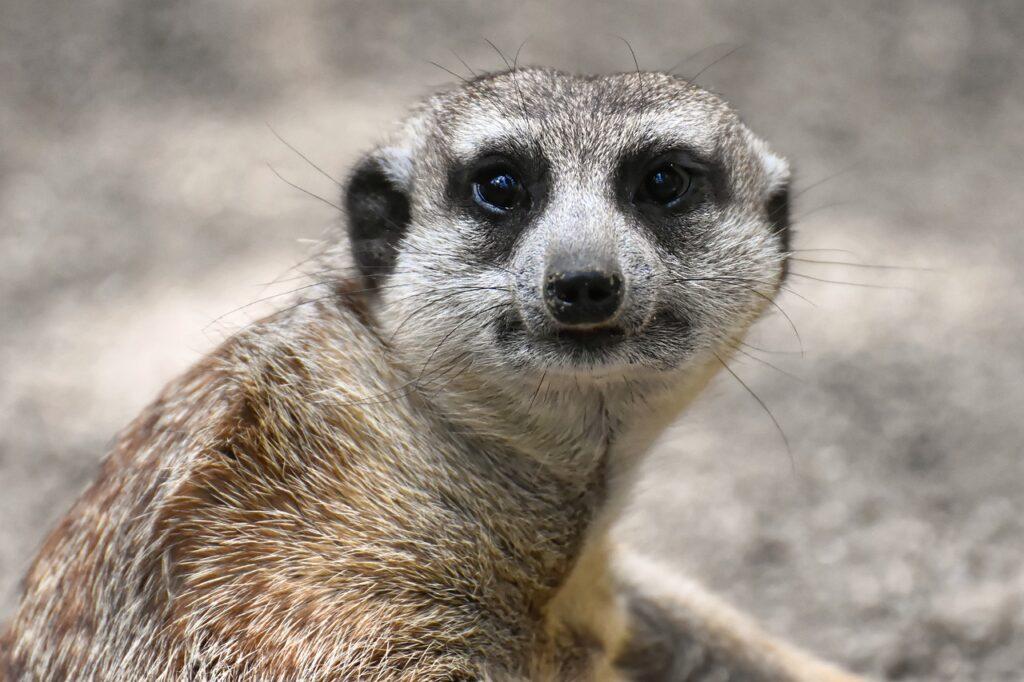 meerkat-4408007_1280