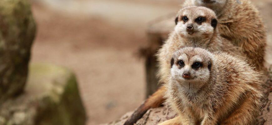 meerkats-5756042_1280