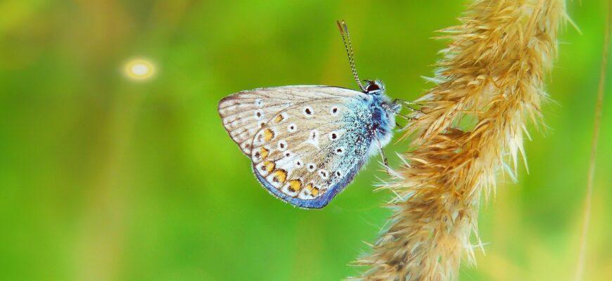 polyommatus-icarus-4125519_1280