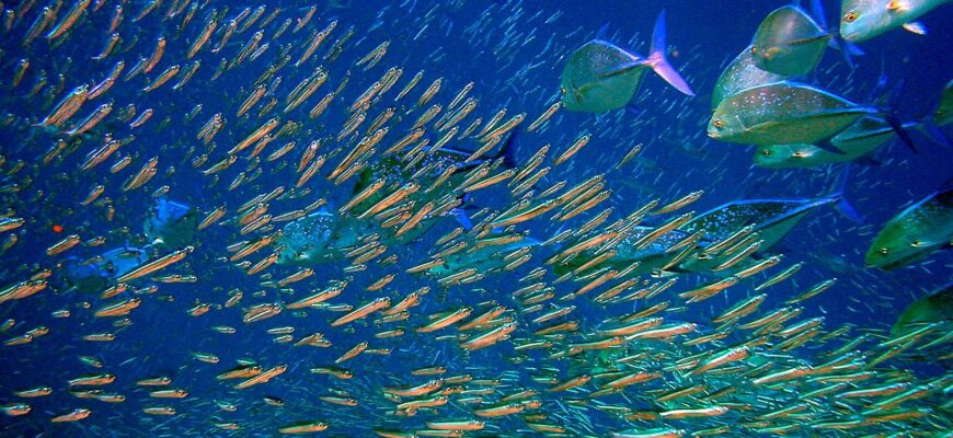 staya-pelagich-ryb