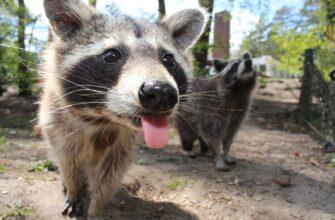 raccoon-750394_1280-2