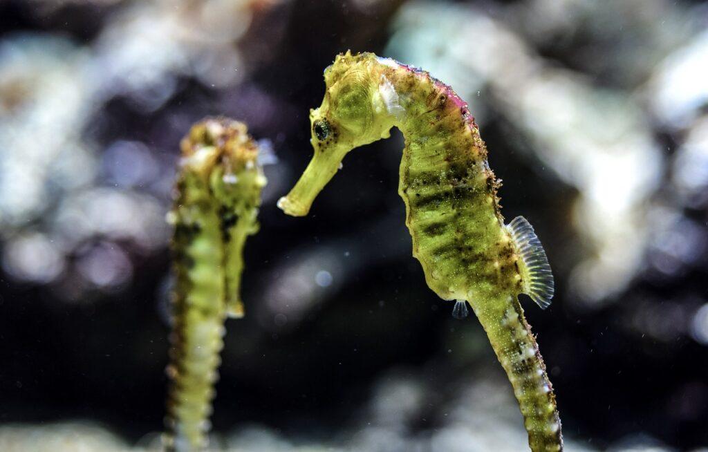 seahorse-4768599_1280